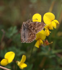 """Erynnis tages"" - bruin dikkopje (bugman11) Tags: butterfly butterflies bug bugs insect insects canon animal animals fauna flora flower flowers yellow macro nature nederland 100mm28lmacro thenetherlands 1001nights 1001nightsmagiccity thegalaxy"