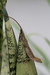 _A166120 (RAStr) Tags: animal reptile lizard caribbean antilles anolis