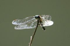 Dragonfly 9 (RZaichkowski) Tags: highpark toronto july 2016 canonrebelt5 nature dragonfly
