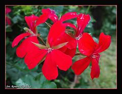pelargonie (Renata_Lipiska) Tags: kwiaty kwiat flower flowers pelargonia pelargonie geranium geraniums