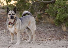 Questioning If I Really Want Him To Come Back In The House (A Wild Western Heart) Tags: tannersquid mutt dog perro rescue pet