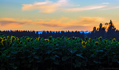 Dusk (Joni Mansikka) Tags: summer nature field sunflowers flowers plants outdoor trees silhouettes colours landscape sky yellow paimio suomi finland