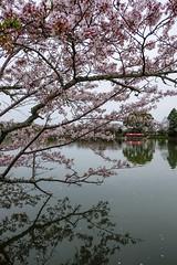 Daikaku-ji IV (Douguerreotype) Tags: tree cherryblossom blossom water pond buddhist lake boat kyoto pink cherry reflection japan shrine temple sakura