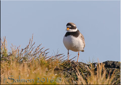 Common Ringed Plover (fwsalmon) Tags: birds charadriushiaticula commonringedplover snfellsnespeninsula iceland canon100400lii canon7dmarkii