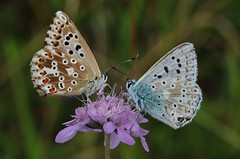 Two are better than one.... (Hugo von Schreck) Tags: butteerlfy schmetterling falter bluling macro makro insect insekt hugovonschreck canoneos5dsr tamronsp90mmf28divcusdmacro11f017 onlythebestofnature outdoor ngc fantasticnature silbergrnerbluling polyommatuscoridon