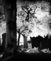 """Autumn leaves at cemetery"" (Peter Cohn) Tags: ir infrared malm stpaulikyrkogrd scania skne sweden cemetery graveyard"