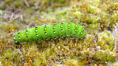 Emperor Moth caterpillar (Saturnia pavonia) (Nick Dobbs) Tags: emperor moth caterpillar saturnia pavonia insect dorset heath heathland