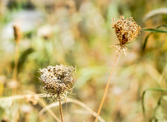 Dry Flower (CJ Luck) Tags: 500pxglobalwalk bokeh cj dof dryflower garden outdoor phila philadelphia plants roadside sony sonya77 yellow autumn background beauty botanical bright city cjluck closeup decay desolate dry earth fall field floral flower fuzzy gardening gardenscape germinate golden grass grassland green herbal macro natural nature plant seed seeding stree vintage walking wayside white wildflower