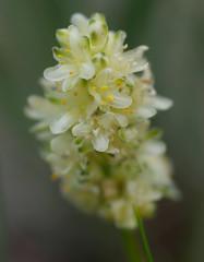 Lomandra ?, Wireless Hill, Perth, WA, 15/08/16 (Russell Cumming) Tags: plant lomandra asparagaceae wirelesshill perth westernaustralia