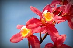 Primavera (Eduardo Amorim) Tags: flor flower fleur fiore blumen orquídea pelotas costadoce pampa campanha fronteira riograndedosul brésil brasil sudamérica südamerika suramérica américadosul southamerica amériquedusud americameridionale américadelsur americadelsud brazil eduardoamorim