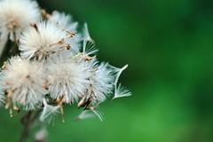 I just wanna fly away... (azyef94) Tags: flower dandelion macro macrophotography makrofotografie makro photography nature naturelovers naturephotography flowerphotography wunderweltnatur