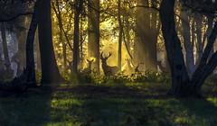Sunrise Breath (nicklucas2) Tags: animal deer sunrise tree wildlife grass green orange mist silhouette landscape