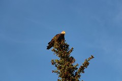 Bald Eagle (demeeschter) Tags: canada yukon territory klondike highway lake mountain scenery landscape nature wildlife fire forest river minto resort bald eagle