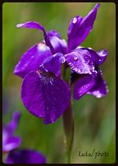 IMG_6654_Missing you. (lada/photo) Tags: iris spring ladaphoto flower