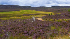 more Highland fencing - HFF! (lunaryuna) Tags: scotland highlands caingorms northerncairngorms landscape heather heatherinbloom beauty colours latesummer season seasonalwonders fence fencedfriday hff lunaryuna
