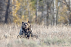 """Blondie"" - Female Grizzly Bear (Ursus arctos horriblis) - Grand Teton National Park (Jim Frazee) Tags: blondie grizzlybear ursusarctoshorriblis grandtetonnationalpark"