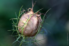 ZAADDOOSJE JUFFERTJE IN HET GROEN || SEED BOXES NIGELLA DAMASCENA ( (love-in-a-mist, ragged lady or devil in the bush) (Anne-Miek Bibbe) Tags: canoneos700d canoneosrebelt5idslr annemiekbibbe bibbe nederland 2016 tuin garden jardin giardino jardim natuur nature oktober || october ottobre octubre outubro herfst autumn outono herbst automne otoo zaaddoosjes zaaddoosje juffertjeinhetgroen nigella