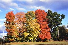 Colors on Display (karstenphoto) Tags: autumn orange color fall film leaves yellow analog leaf midwest kodak michigan scene contax changing g2 ektar