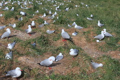 nesting red-billed gulls at Taiaroa Head (oetrope) Tags: chicks otagopeninsula redbilledgulls