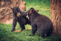 """""""No, that's my Carrot!"""" (Bartfett) Tags: bear trees arizona playing cute forest cub fight williams no bears young carrot cubs fighting playful bearizona"""