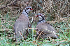 Red - legged Partridges (Ally.Kemp) Tags: red birds scotland highlands scottish partridge legged partridges rossshire