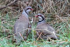 Red - legged Partridges (Ally.Kemp) Tags: red birds scotland highlands scottish partridge legged partridges rossshire