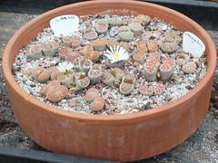 DSCF0383 (BobTravels) Tags: plant stone bob lithops lithop messem bobwitney