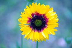 Pastel colors (Pensive glance) Tags: plant flower nature fleur plante ngc npc gaillardia