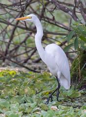 _C5A3805.jpg (Lake Worth) Tags: bird nature birds animal animals canon wings wildlife feathers sigma waterbird wetlands everglades waterbirds southflorida 2xextender