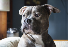 (NatalieShockleePhotography) Tags: dog cute dogs adorable pit bull cutie terrier american