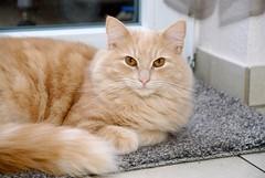 Tobbi at Patio Door (frankbehrens) Tags: cats tom cat chats chat gatos gato katze katzen kater