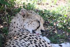 IMG_1983 (gsurya) Tags: kenya cheetah masaimara