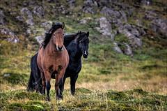 Icelandic Horses 10 [Explored] (Jen St. Louis) Tags: horses iceland snaefellsnes icelandichorses snaefellsnespeninsula snæfellsnespeninsula nikon70200mmf28 nikond7000 jenstlouisphotography wwwjenstlouisphotographycom