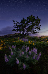 Solace (Michael Bollino) Tags: flowers tree oregon dark stars landscape twilight pacificnorthwest gorge wildflowers predawn lupine columbiarivergorge balsamroot landscapephotography