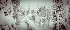 Ruka (Tuomo Lindfors) Tags: trees winter snow forest finland kuusamo lumi talvi metsä ruka puut pyhävaara theacademytreealley pyhänjyssäys pikkupyhävaara