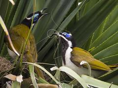 Blue-faced Honeyeaters Making Nest (SianPear) Tags: nature birds nest wildlife australia olympus bluefacedhoneyeater honeyeater entomyzoncyanotis omd em5 australianhoneyeater