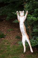 I'll get it. (Cloudtail the Snow Leopard) Tags: wildpark pforzheim tier animal mammal säugetier katze cat feline luchs lynx nordluchs europäischer eurasischer sprung jump springen nordluchseuropäischer cloudtailthesnowleopard