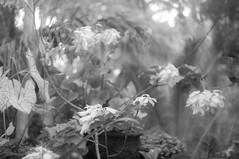 (kuuan) Tags: ltm bw bali plants 35mm canon flora rangefinder mf f18 manualfocus 1835 m39 f1835mm