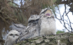 Young Frogmouths (barryhatton33) Tags: birds babies australian young barry chicks raptors owls hatton nesting tawny frogmouth