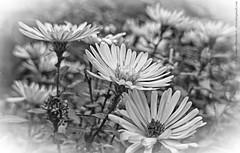 Black & White - three sisters (dksesh) Tags: flowers garden hounslow seshadri arundhati dhanakoti haritasya haritasa sripadmini sonyxperiaz2