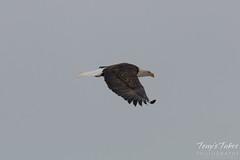Bald Eagle flies through the snow