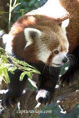 Oso Panda Rojo - Central Park - Manhattan - New York (www.capturaviaje.com) Tags: nyc newyork canon zoo centralpark manhattan estadosunidos nuevayork ailurusfulgens grimaldi eeuu osopandarojo ef1740mmf4lusm zoocentralpark 5dmarkiii dgrimaldi 5dmiii davidgrimaldi