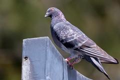 Paloma (Jos M. Arboleda) Tags: bird canon eos colombia pigeon dove jose paloma ave 5d arboleda markiii columbidae popayn josmarboledac tamronsp150600mmf563divcusda011
