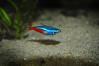 Bolton Museum Aquarium. Neon Tetra (Pitheadgear) Tags: fish aquarium bolton tetra fishes aquaria aquatics neontetra aquarists boltonaquarium boltonmuseum boltonmuseumandartgallery boltonmuseumaquarium