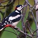 Great Spotted Woodpecker (adult male)