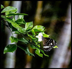 Face first into a flower AGAIN, Ralph? You've got a problem. (Jackie888) Tags: summer butterfly australia queensland mygarden