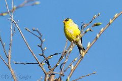 _MG_0788.jpg (pknight45) Tags: birds places americangoldfinch bakerwetlands
