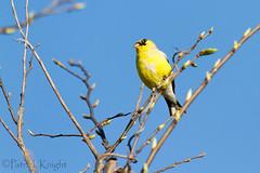 _MG_0788.jpg (pknight45) Tags: birds places americangoldfinch bakerwetlands