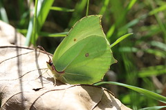 Backlit Belle (raggi di sole) Tags: england nature beauty butterfly insect leaf spring backlit resting brimstone pieridae gonepteryxrhamni stainesmoor