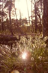Pietzmoor in Schneverdingen (DanielHiller) Tags: wood flower tree nature forest germany deutschland gras wald baum sonnenstrahlen sunflare blten sonnenschein niedersachsen lowersaxony pietzmoor schneverdingen